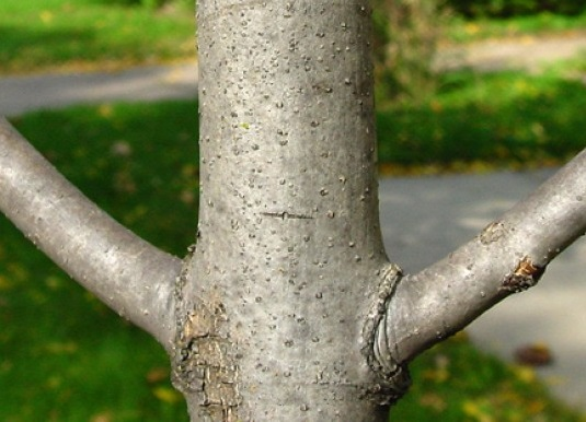 ash, tree, eab, emerald ash borer, branch, opposing
