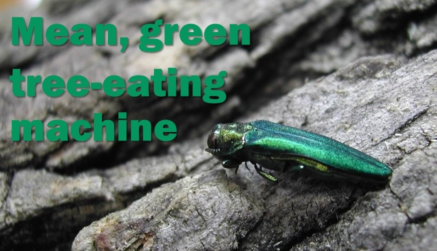 eab, ash, emerald, borer, tree, beetle