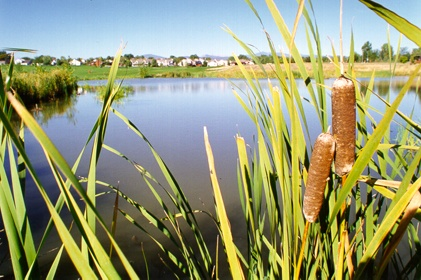 Cattails at the Lake