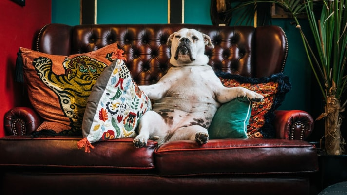 overweight dog sitting on couch